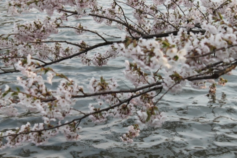 Sakura on the water.