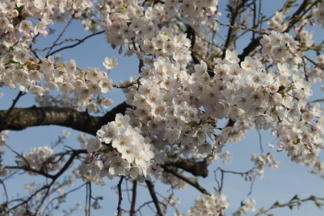 Some trees, though, still had heavy clusters of 桜.