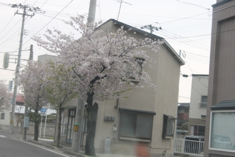 For comparison, this is how most sakura trees look when they're in full bloom. Heavy on the pink...light on the green.