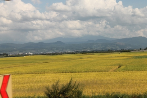 Sure sign that autumn is coming: golden rice fields.