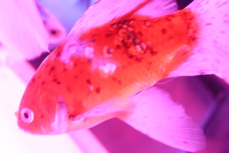Illuminated goldfish, turned bright pink by the lights.