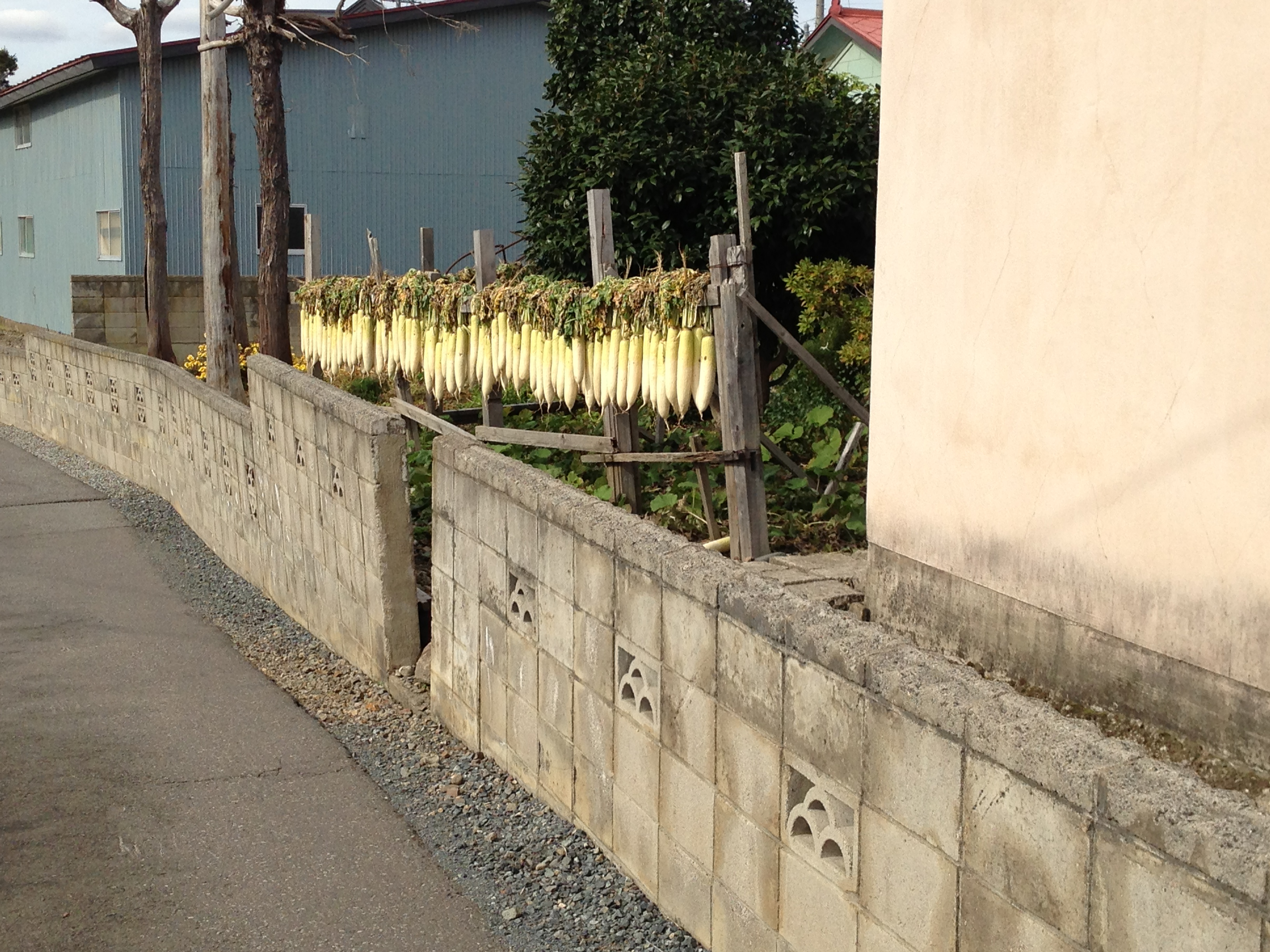 Autumn's the time for people to harvest their daikon radishes, too. And then they get hung out to dry.