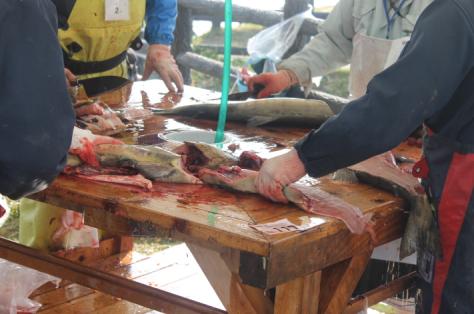 Mmmm, salmon guts.