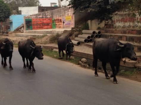 Water buffalo on one of the main roads in Orchha