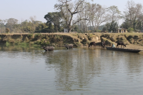 Water buffalo crossing!